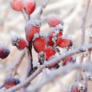 Frozen Rosehips Design